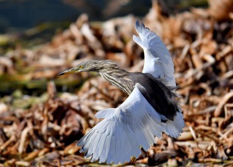 飛ぶ・アカガシラサギ9068