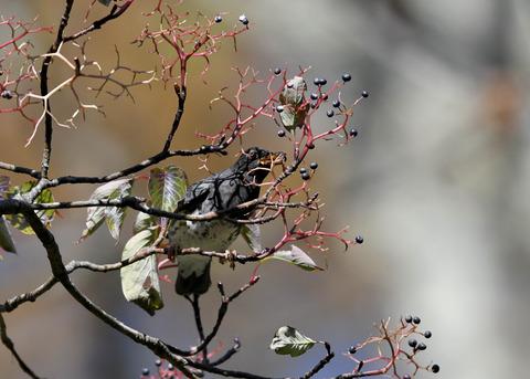 クロツグミ幼鳥3351