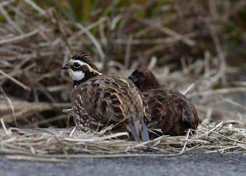 コリンウズラ♂&若鳥5346