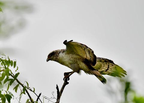 カンムリワシ若鳥6550