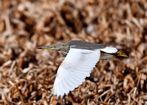 飛ぶ・アカガシラサギ9057
