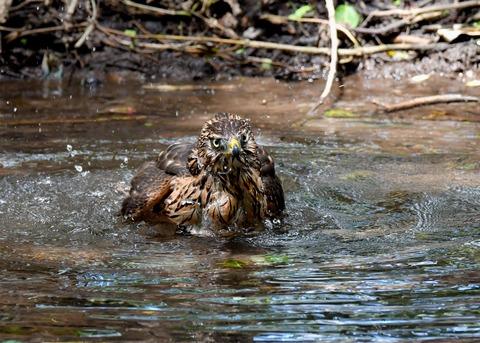 オオタカ幼鳥3941