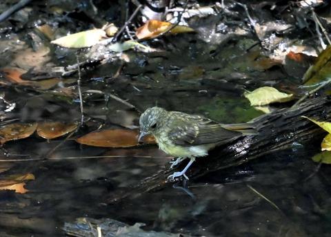 キビタキ幼鳥3413