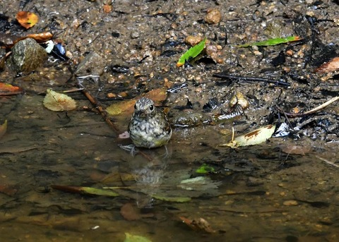 キビタキ幼鳥0773