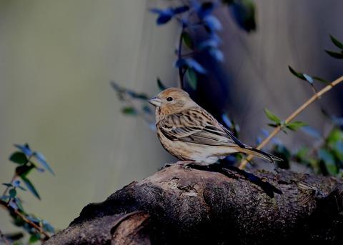 オオマシコ若鳥8880