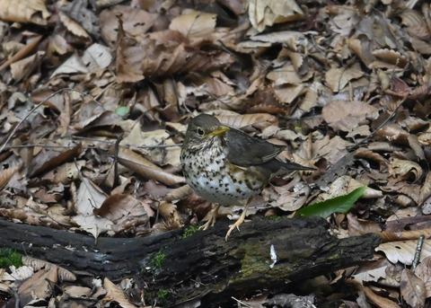 クロツグミ幼鳥6203