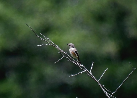 ノビタキ幼鳥1177
