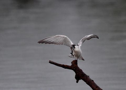 クロハラアジサシ幼鳥1856
