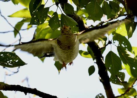 ツツドリ幼鳥5907