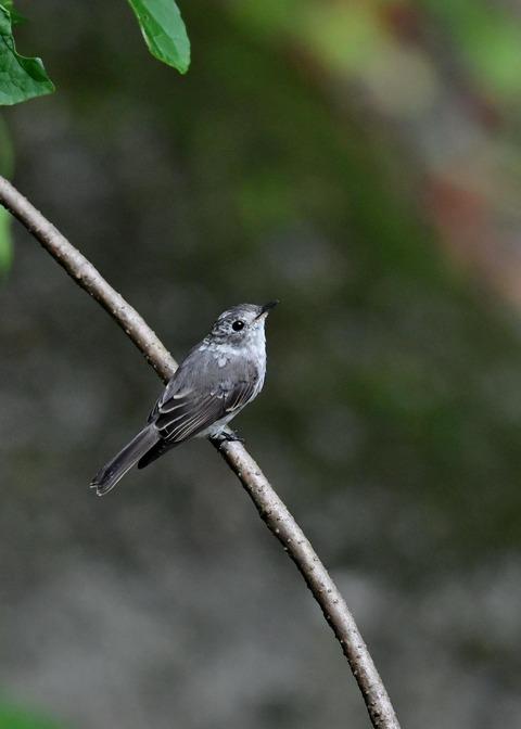 コサメビタキ幼鳥0265