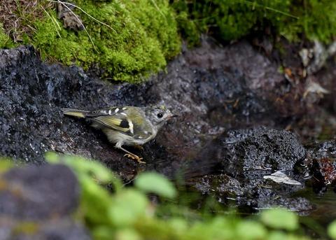 キクイタダキ幼鳥2831