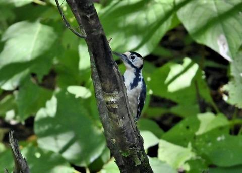 アカゲラ♂幼鳥3011