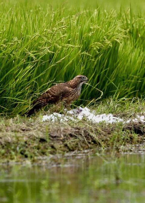 オオタカ若鳥2878