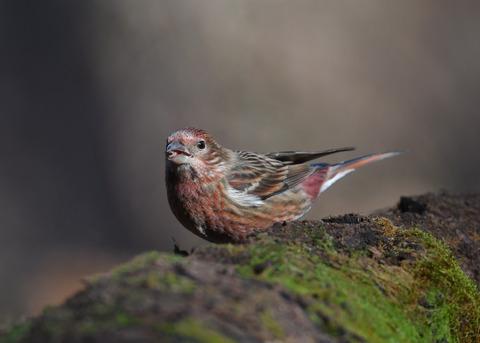 オオマシコ若鳥0735