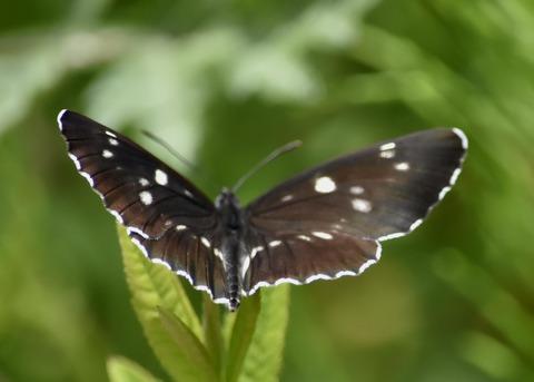 フタスジチョウ黒化型1078