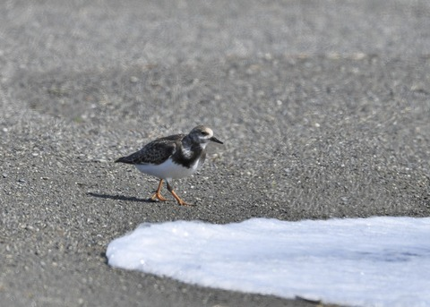 キョウジョシギ幼鳥6026