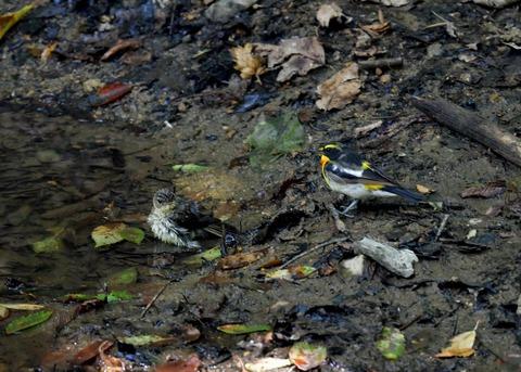キビタキ♂と幼鳥3449