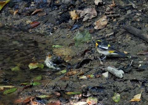 キビタキ♂と幼鳥3446