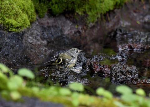 キクイタダキ幼鳥2893