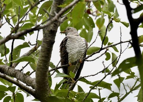 ツツドリ幼鳥5562