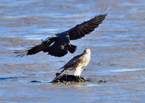 オオタカ若鳥0668