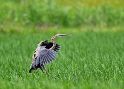 ムラサキサギ若鳥2146