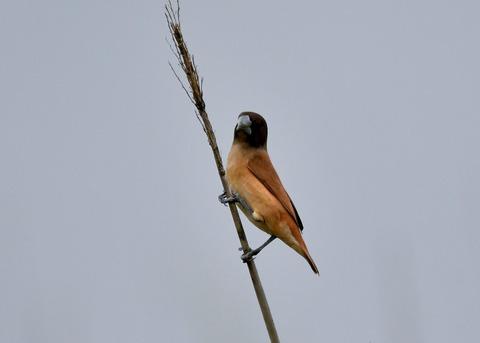 キンパラ幼鳥1892