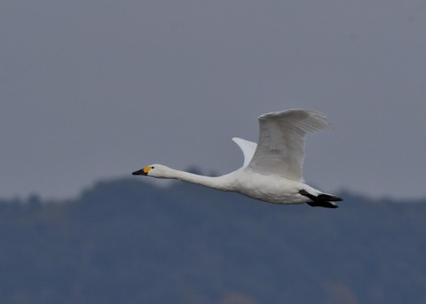 飛ぶ・コハクチョウ0556