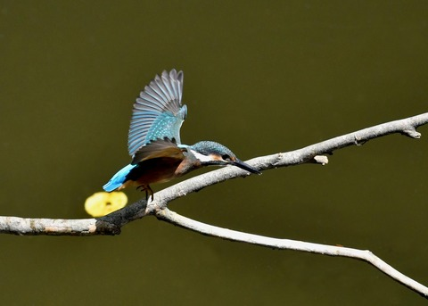カワセミ若鳥5155
