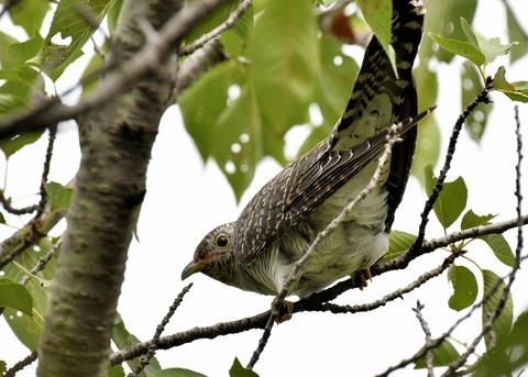 ツツドリ幼鳥5539