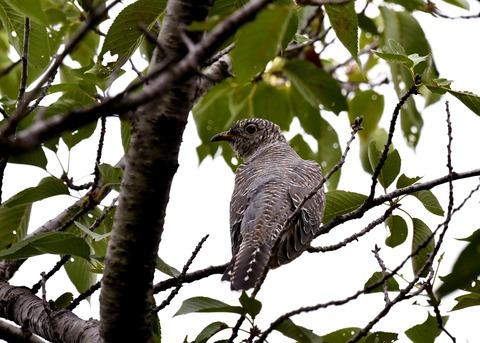 ツツドリ幼鳥5657