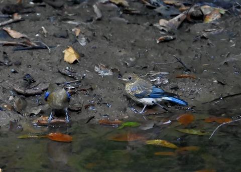 オオルリ幼鳥①②6315
