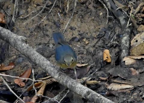 コルリ♂幼鳥2620