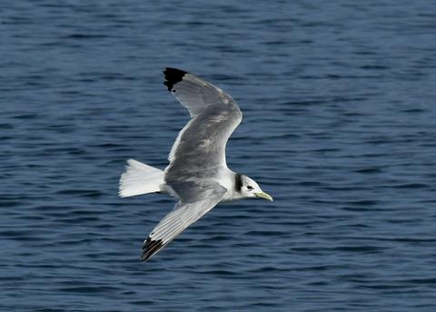 ミツユビカモメ成鳥5366