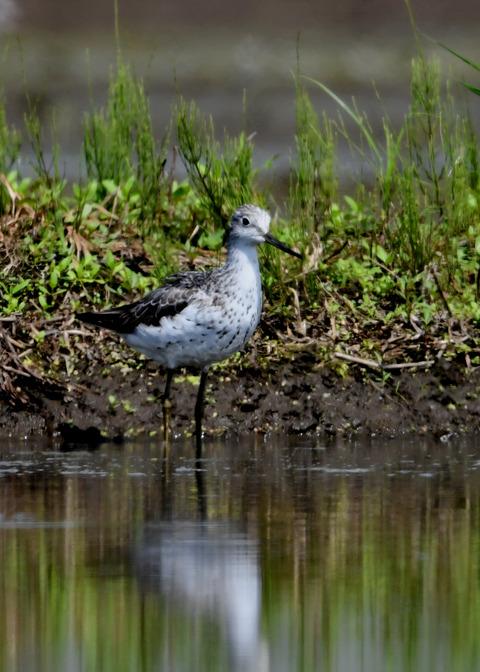 アオアシシギ幼鳥2783