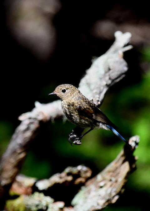 ルリビタキ幼鳥4021