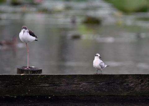 クロハラアジサシ幼鳥2680