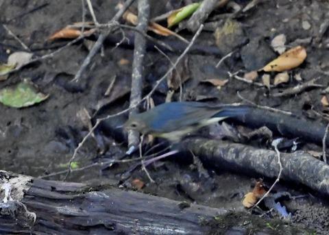 コルリ♂幼鳥2571
