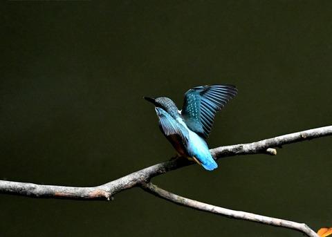 カワセミ若鳥4262