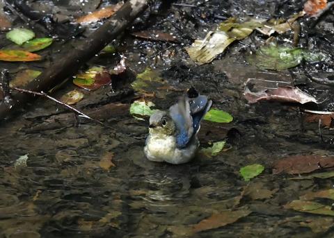 コルリ♂幼鳥4087