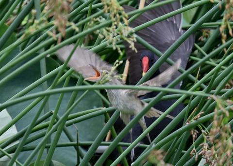 オオヨシキリ幼鳥8522