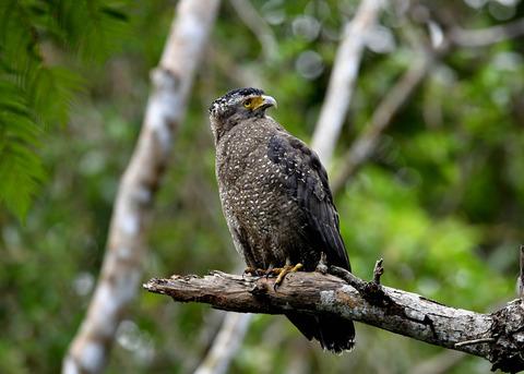 カンムリワシ成鳥5896