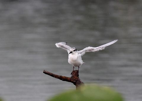 クロハラアジサシ幼鳥1835