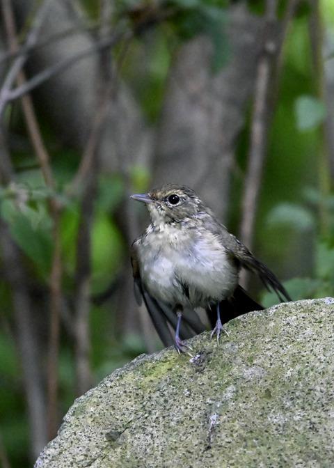 キビタキ♀幼鳥1061
