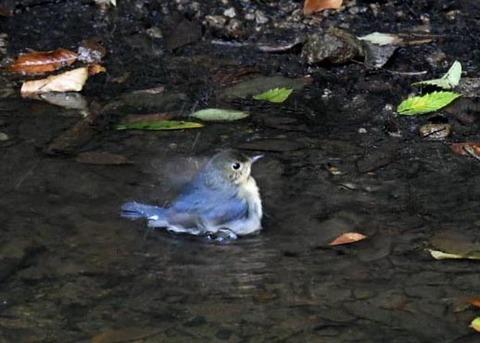 コルリ♂幼鳥7285
