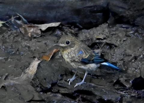 オオルリ幼鳥②6286