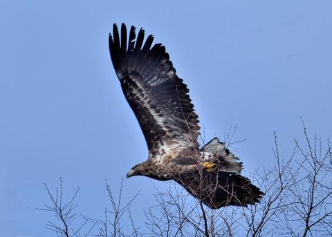 オジロワシ若鳥9288
