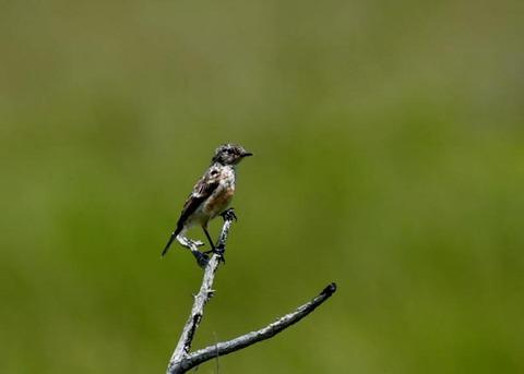 ノビタキ幼鳥5219