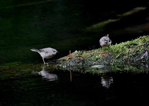 キセキレイ幼鳥8198