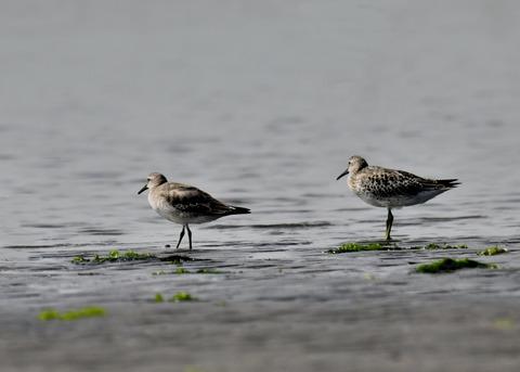 コオバシギ幼鳥4245